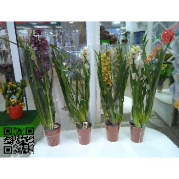 Цимбидиум(Орхидея)