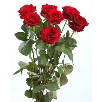 бордовая роза, красная роза