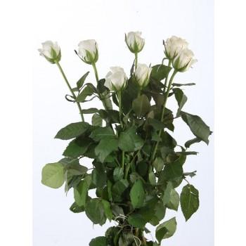 российская белая роза
